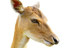 Portrait of fallow deer hind over white Royalty Free Stock Photos