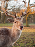 Portrait of a fallow deer Royalty Free Stock Photo