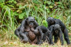 Portrait of family of a Chimpanzee bonobo ( Pan paniscus). Democratic Republic of Congo. Africa royalty free stock images
