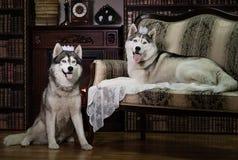 Portrait family husky dog Stock Photos