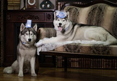 Portrait family husky dog. In old library royalty free stock photo