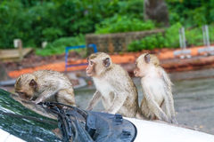 Portrait of family monkey playing on white car Royalty Free Stock Image
