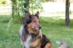 Portrait of family pet in the garden looking carefully around. Collie dog Stock Image