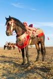 Portrait of fantasia horse. Stock Images