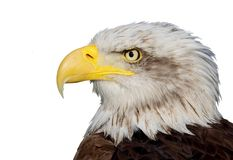 Bald eagle. A portrait of a fantastic american bald eagle isolated on white Stock Photos