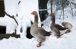 Portrait of farm animal birds not used to cold temperatures in snowy winter, february 2018, southern france on atlantic coast. Portrait of farm animal birds not Stock Image
