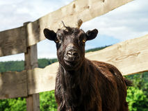 Portrait of farm goat Royalty Free Stock Photography