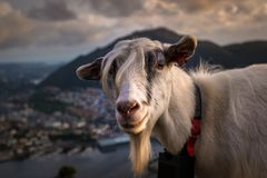 Portrait of A Farm Goat on Mountain at Sunset. A funny portrait of a farm goat on Floyen Mountain, Bergen, Hordaland, Norway royalty free stock photo