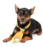 Portrait of fashion dog. Little funny dog. isolated on white Stock Image