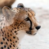 Portrait of the fastest animal on the planet - cheetah. Close-up Royalty Free Stock Photo