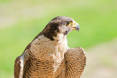 Portrait of the fastest wild bird of prey falcon or hawk Royalty Free Stock Photography