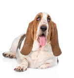 Portrait fat basset hound dog. on white background.  royalty free stock photo
