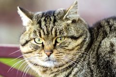 Portrait of a fat striped cat with green eyes Royalty Free Stock Photo