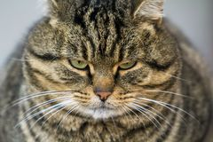 Portrait of a fat striped cat with green eyes Royalty Free Stock Images