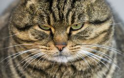 Portrait of a fat striped cat with green eyes Stock Images