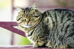Portrait of a fat striped cat with green eyes Stock Image