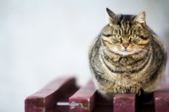 Portrait of a fat striped cat with green eyes Royalty Free Stock Image