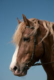 Portrait of a favourite horse Royalty Free Stock Image