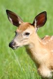 Portrait of fawn Royalty Free Stock Photos