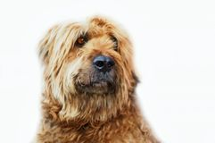 Portrait of fawn briard. Royalty Free Stock Images