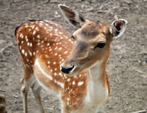 Portrait of fawn deer calf Royalty Free Stock Photos