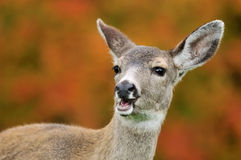 Portrait of fawn and fall color Royalty Free Stock Image