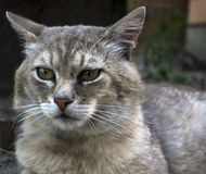 Portrait of fearsome highbred cat Royalty Free Stock Photography