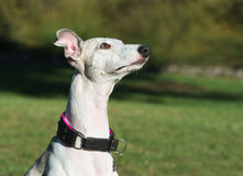 Portrait of a femail whippet dog. In a park Stock Images