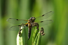 Portrait of female, adult dragonfly Royalty Free Stock Photos