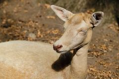 Portrait of female adult fallow deer dama dama in the forest royalty free stock photo