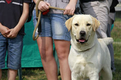 Portrait of a female adult labrador Royalty Free Stock Images