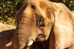 A portrait of a female African elephant in an enclosure in a zoo. stock images