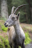 Portrait of a female alpine ibex or bouquetin Royalty Free Stock Image