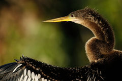 Portrait of female Anhinga Royalty Free Stock Photography