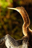 Portrait of female Anhinga Stock Image