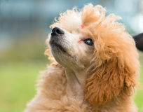 Portrait of a female apricot poodle dog Royalty Free Stock Photos