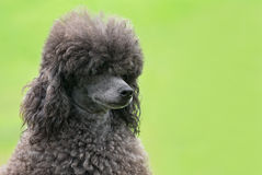 Portrait of a female black poodle dog. In a park Stock Images