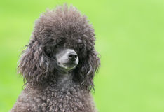 Portrait of a female black poodle dog. In a park Royalty Free Stock Images