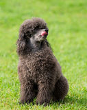 Portrait of a female black poodle dog. In a park Stock Photo
