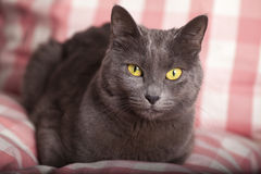 Portrait of a female blue russian yellow eyes / carthusian cat. A close-up portrait of a young blue russian / carthusian cat with yellow eyes. Grey coat. Laid on Stock Image