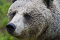 Portrait of a Female Brown Bear (Ursus arctos) Stock Image