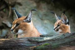 Portrait of a female Caracal and young caracal royalty free stock image