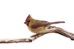 Portrait of female cardinal preparing for takeoff Stock Photo