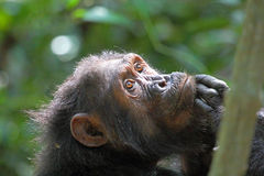 Portrait of female chimpanzee Stock Images