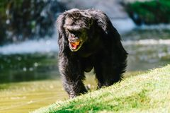 Portrait Of A Female Chimpanzee. Walking stock photos