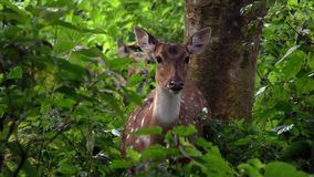 Portrait of Female Chital or Cheetal Axis axis, also known as Spotted Deer or Axis Deer in Forest