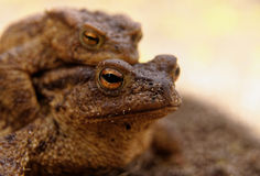Portrait of the female the common toad Royalty Free Stock Image