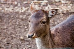 Portrait of European Red deer Cervus elaphus in the forest. Portrait of Female Deer in a beautiful forest in Germany royalty free stock images