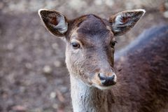 Portrait of European roe deer Capreolus capreolus in the forest. Portrait of Female Deer in a beautiful forest in Germany stock photos