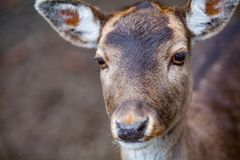 Portrait of Female Deer in a beautiful forest Germany. Portrait of Female Deer in a beautiful forest in Germany royalty free stock photo